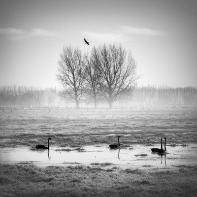 Four black swans in a field in a fine art photograph.